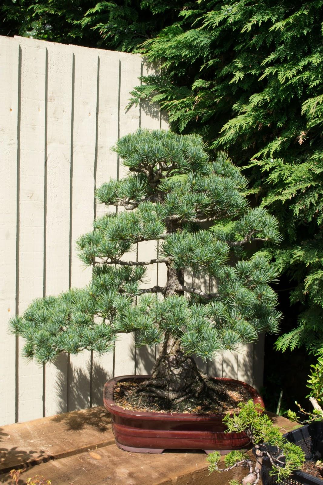 DJ BONSAI A Lovely Japanese White Pine