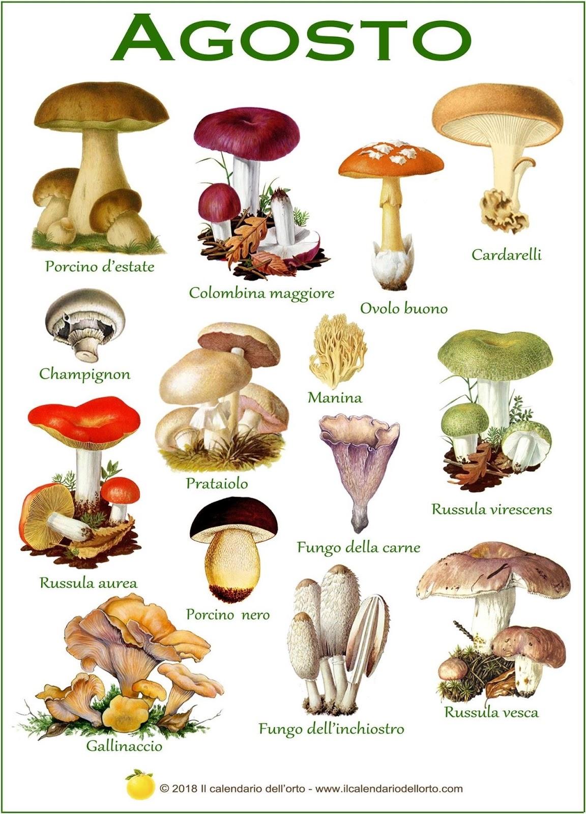 funghi che si trovano in agosto