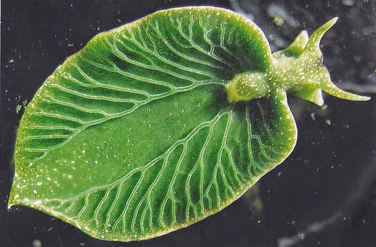 Kamuflase Elysia chlorotica (Siput Laut Daun)