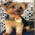 Família procura cãozinho desaparecido em Pau Amarelo
