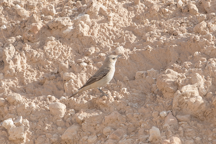 Hooded Wheatear - female