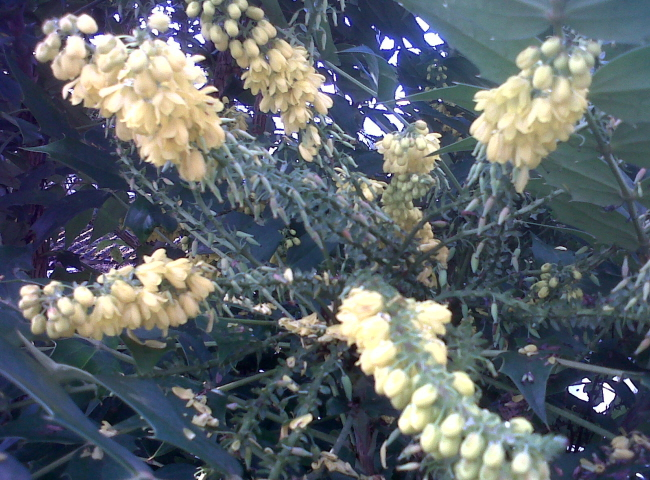 Yellow Mahonia flowers