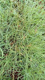 Jual Rumput Swiss,Jual Rumput Swiss Untuk Taman