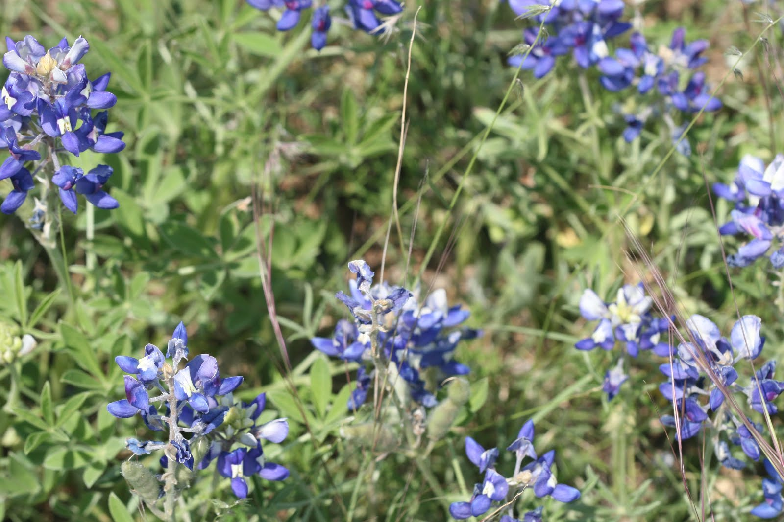 Blue Bonnets in Texas Hill Country