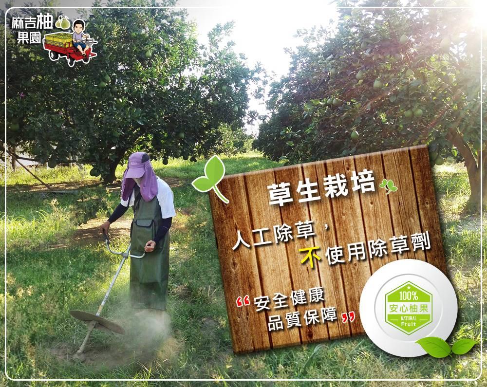 麻豆文旦,草生栽培旦