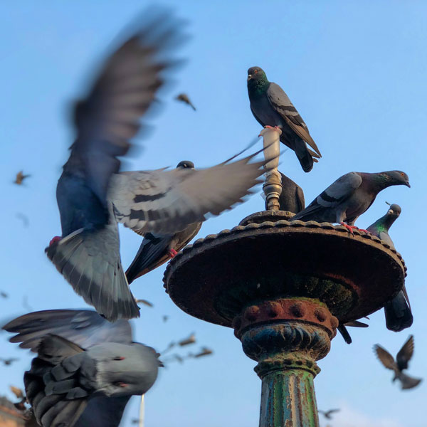 mumbai pigeons photo kabootarhana shot on iphone 8 plus