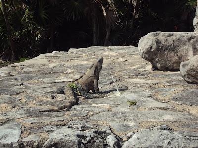 Iguana en las ruinas d eTulum