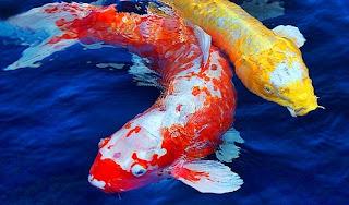 memelihara ikan koi bak fiber,memelihara ikan koi dalam kolam,memelihara ikan koi di kolam kecil,memelihara ikan koi di akuarium,cara memelihara ikan koi di kolam rumah,cara memelihara ikan koi bagi pemula,
