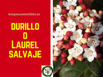 El Durillo o Laurel Salvaje, arbusto de follaje denso y muy ramificado, pariente de la Lantana