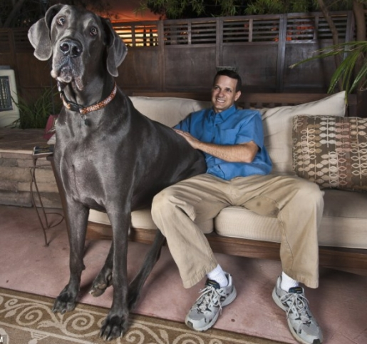 Giant George The World S Largest Dog Images Photo Gallery
