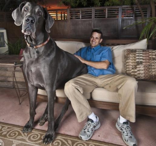 largest dog -#main