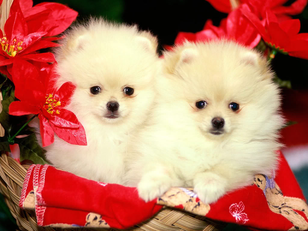 HD Wallpapers: Cute Christmas Puppies