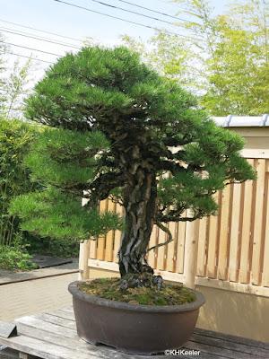 Bonsai, Omiya Bonsai Garden, Japan