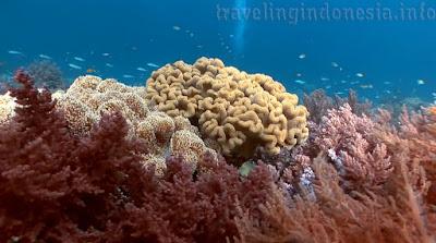 Sea coral reefs Indonesia