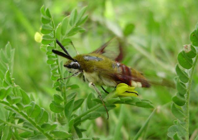 Esfinje abejorro (Hemaris fuciformis)