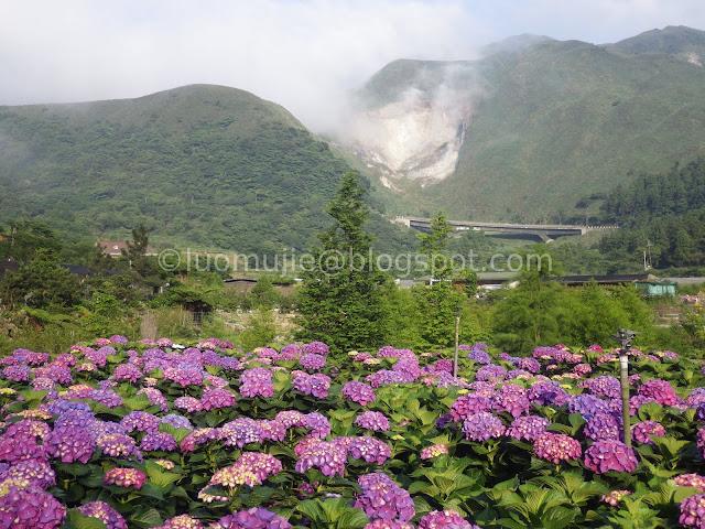 Yangmingshan Zhuzihu hydrangea
