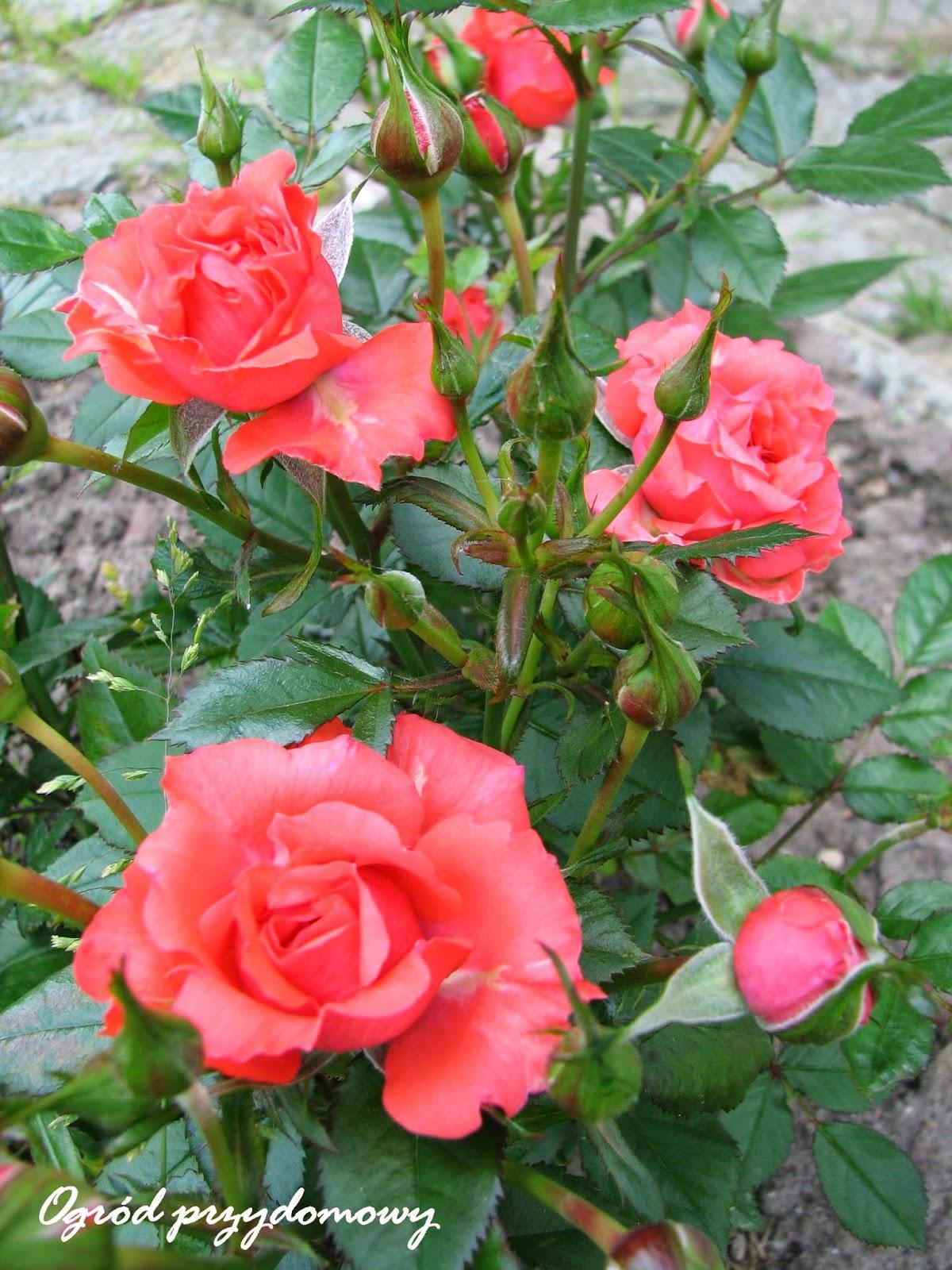 róże miniaturowe, ogród przydomowy, ogród za grosze