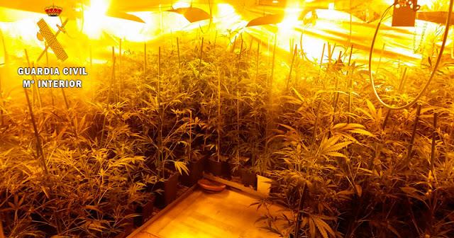 Plantacion de Marihuana en Pantoja