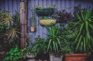 Green plants growing in containers along a purple wall .