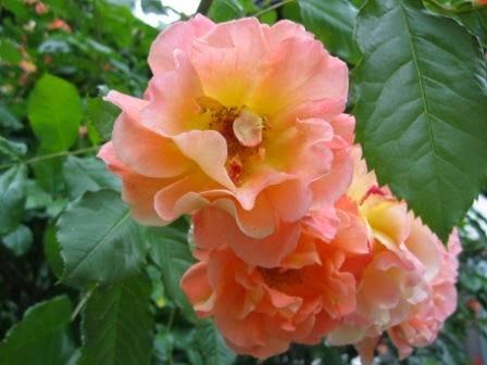 Rose - ungiftige Pflanzen