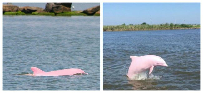 A Rare, Nearly Extinct Pink Dolphin Gave Birth To A Pink Calf