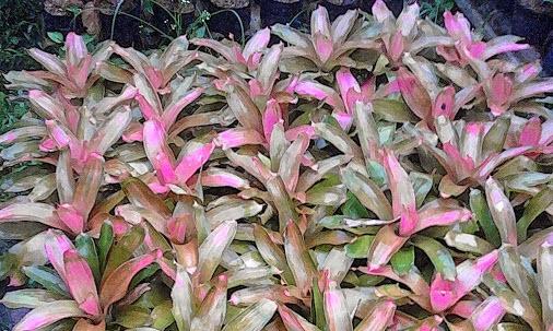 Bromeliad-pink