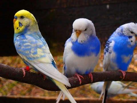 الحسون, الكناري, البادجي, الزيبرا, الجاوا, طيور الحب, ببغاء, كوكاتيل, كالوبسيت, طائر, عصفور, تربية, الزينة