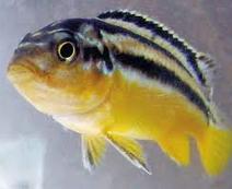 Jenis Ikan Hias Air Tawar Niasa