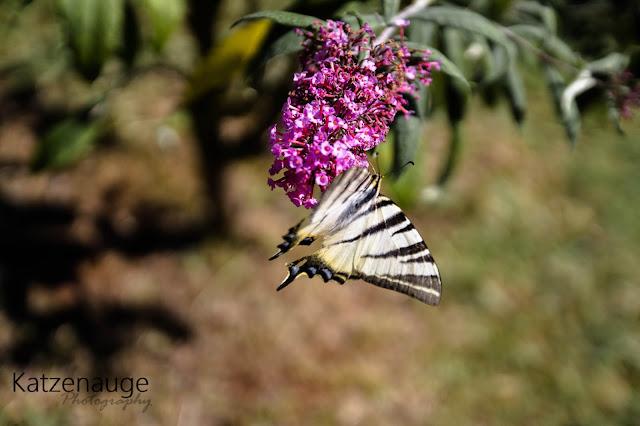 Insel, Island, Kroaten, Brijuni Insel, Makro, Pflanze, Blume, Schmetterling