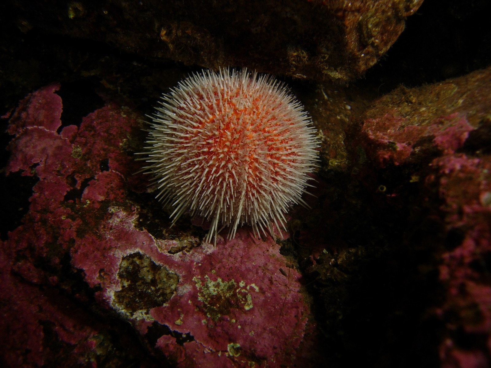 Sea urchin eating corals betting humaid j s al dhaheri capital investment