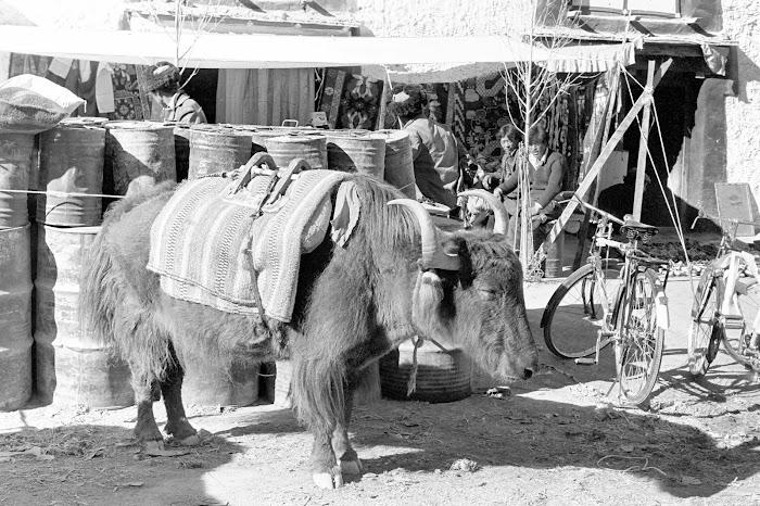 Tibet, Gyantse, yak, © L. Gigout, 1990