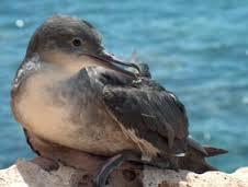 El ave marina más amenazada de extinción de Europa