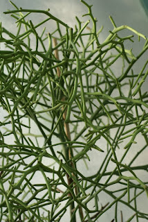 Euphorbe arahaka - Euphorbia arahaka