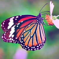 Kelebekler Hakkında Bilgiler Kısaca