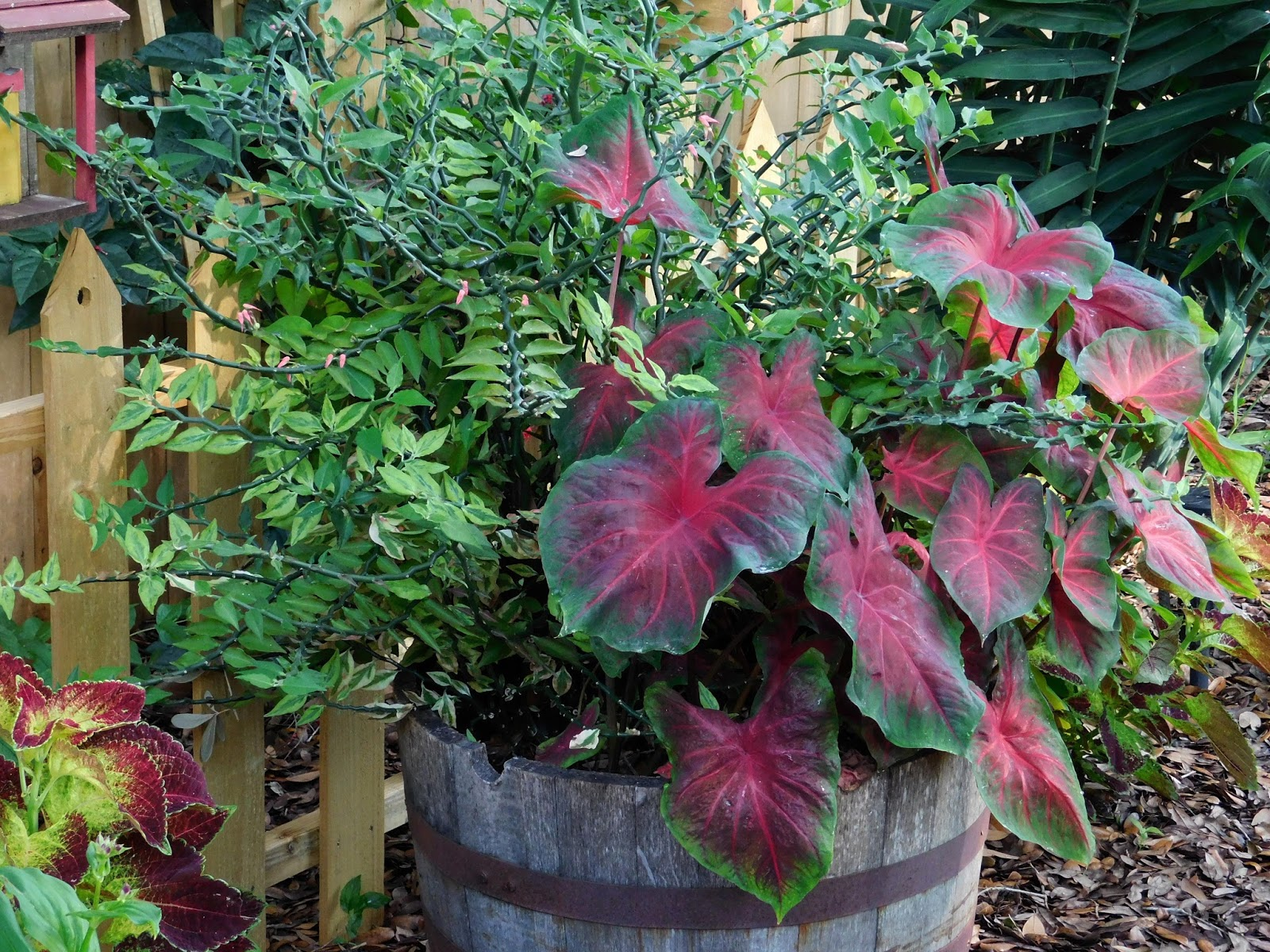 Tractor Seat Fuzzy Variegated Plants : Garden on fourth street shade gardens central florida