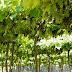 Safra da uva de 2017 anima setor vitivinícola