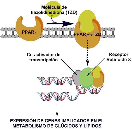 mecanismo de acción de la diabetes mellitus
