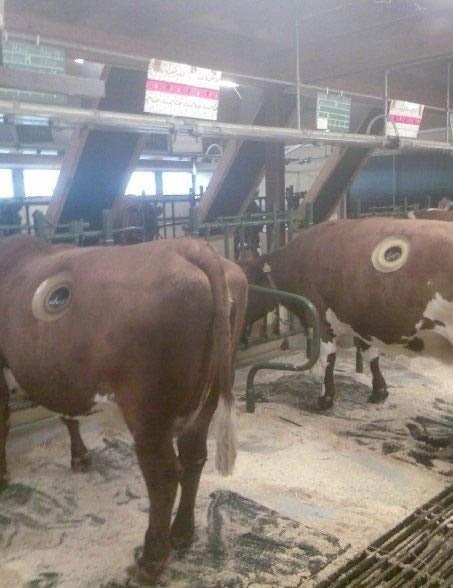 Les hacen hueco a las vacas ¿Para qué?