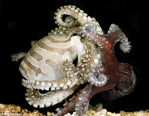 """Săn mồi theo phong cách """"ngạc nhiên chưa"""" của bạch tuộc"""