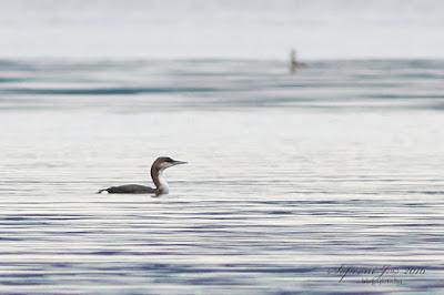 Sarki búvár (Gavia arctica)