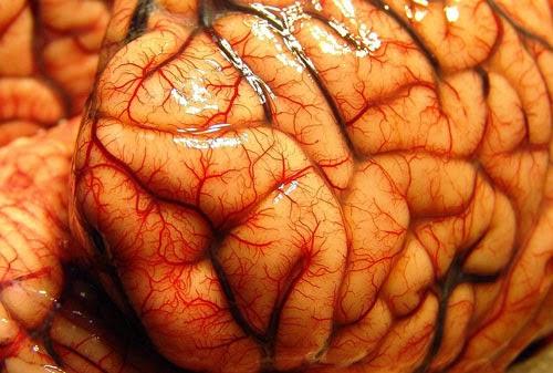 Картинки по запросу кора мозга
