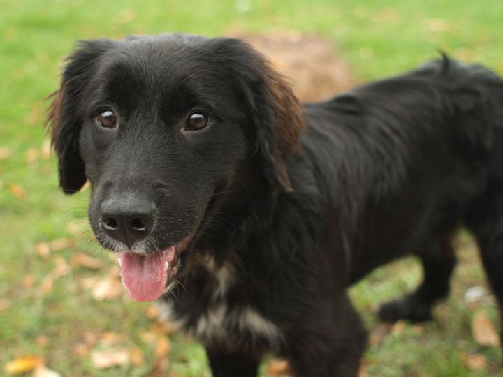 Bernese Mountain Dog Mix Pups