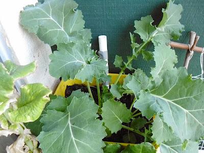 Kale Harvest size