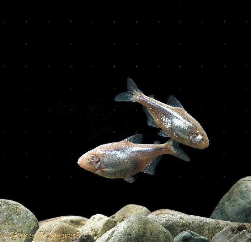 61. Jenis Ikan Hias Aquascape Blind Cave Tetra