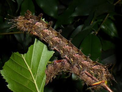 Pseudodirphia mexicana caterpillar