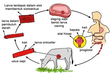 siklus hidup cacing pita