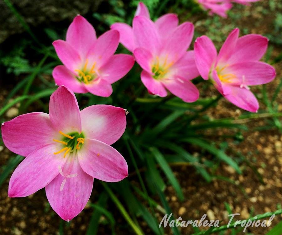 Flores conocidas como brujitas o duendecillos, género Zephyranthes