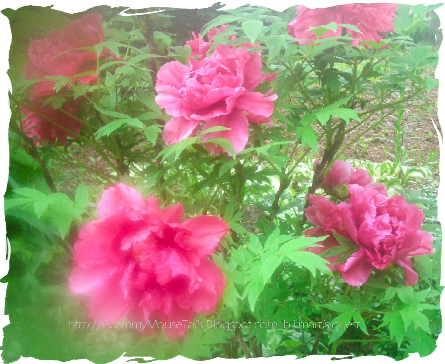 pink peony tree in early evening mist photo image