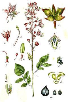 gitam, dictamnus albus, detalle, flor, flores
