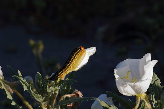 Caterpillar of sphynx moth eating Dune Evening Primrose